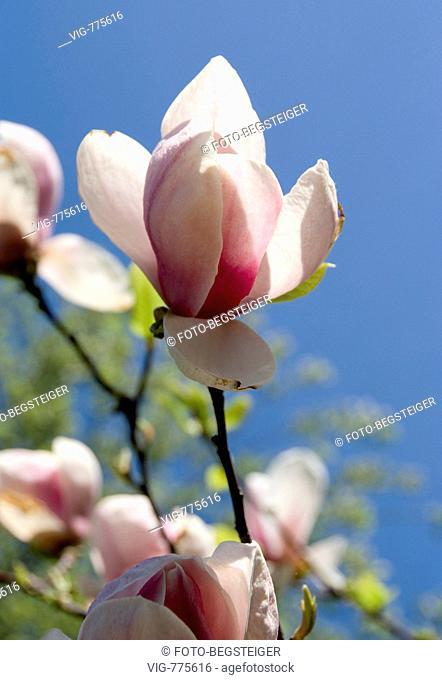 blowing magnolia - 21/04/2008