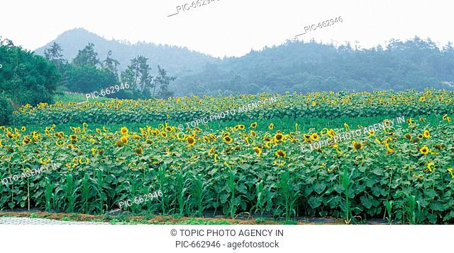 Sunflower,Jeonnam,Korea