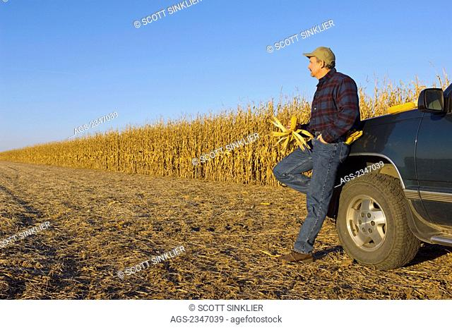 Agriculture - A farmer, leaning on his truck an inspecting an ear of corn in his hand, looks out across his field of partially harvested mature grain corn /...