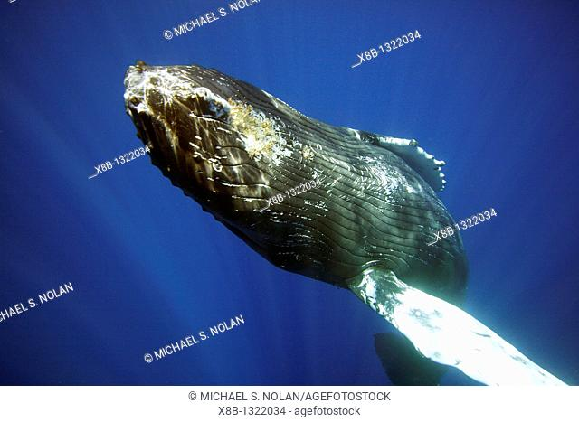 Curious sub-adult female humpback whale Megaptera novaeangliae interacting by rolling and approaching notice the barnacles on throat time and again in the AuAu...