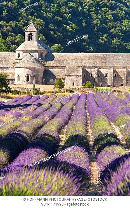 Lavender field in front of the Sénanque abbey in Provence, France, Europe