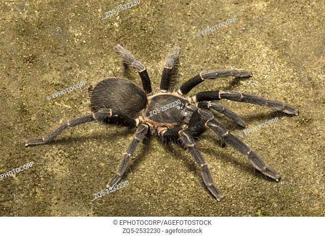 Tarantula, Chilobrachys sp, Theraphosidae, Gumti, Tripura , India