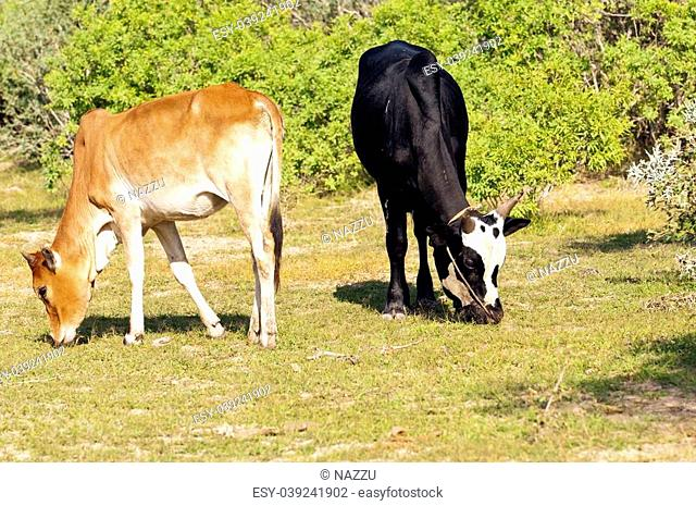Zebus, sometimes known as humped cattle or Brahman cattle