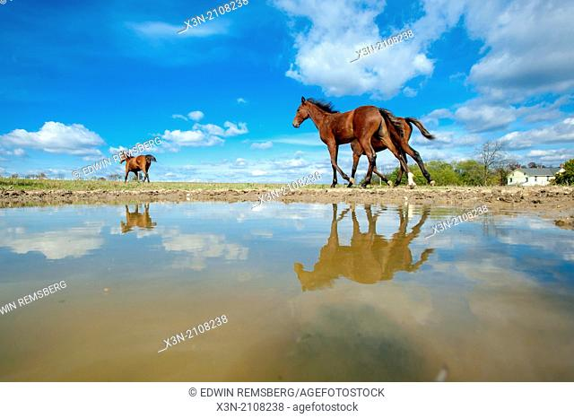 Standardbred horses walking near a pool of water
