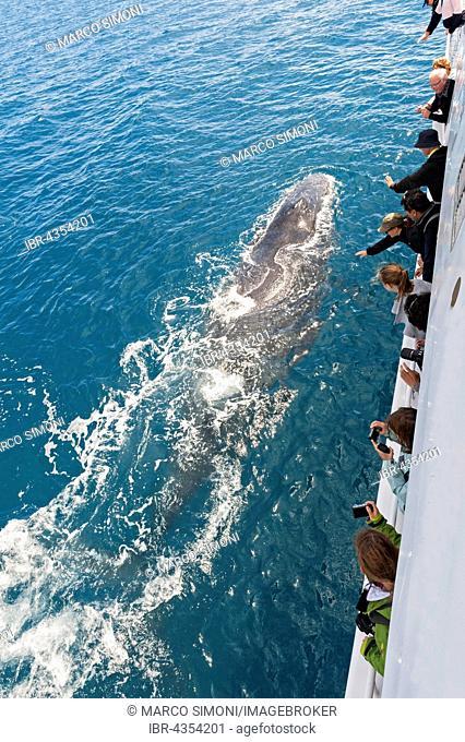 People on boat watching Humpback whales (Megaptera novaeangliae), Hervey Bay, Queensland, Australia