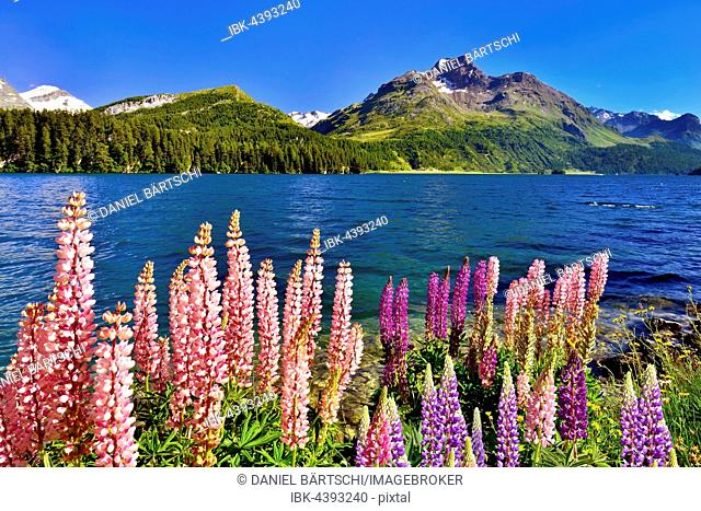 Blooming lupines (Lupinus) at Lake Sils with Piz da la Margna, Engadin, Canton of Grisons, Switzerland