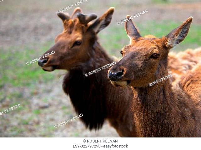 Youn Male and Female Caribou