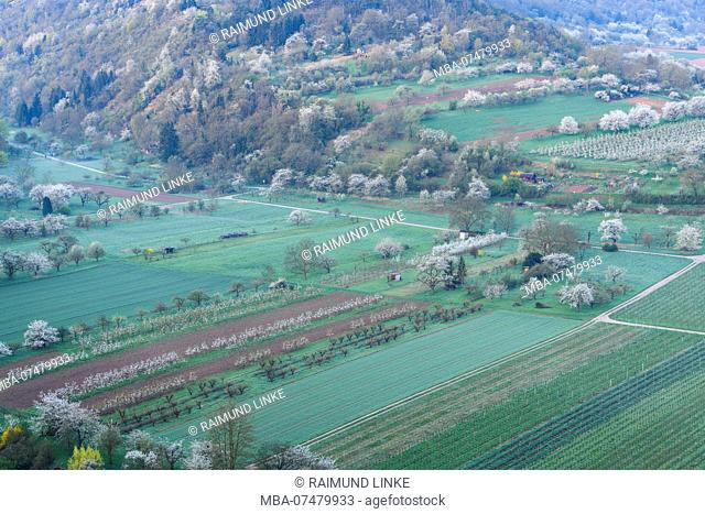 Blooming cherry trees in neckar valley, Hessigheim, River Neckar, Ludwigsburg District, Baden-Württemberg, Germany