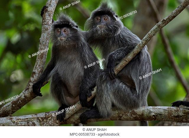 Silvered Leaf Monkey (Trachypithecus cristatus) juveniles in tree, Bako National Park, Sarawak, Borneo, Malaysia