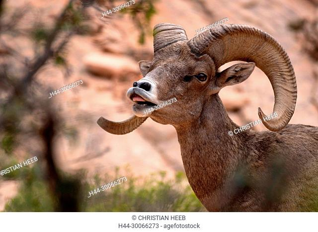 North America, American, USA, Southwest, Colorado Plateau, Utah, Zion National Park, Bighorn Ram