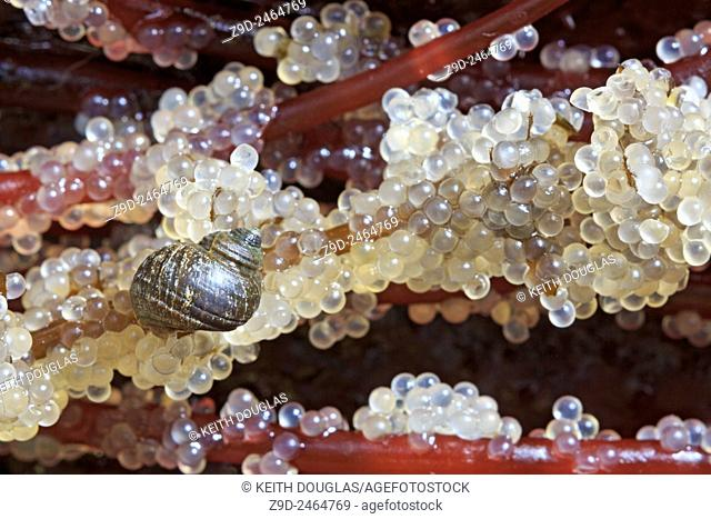 Snail feeding on Pacific Herring ( Clupea pallasii ) eggs laid on seaweed, Nanaimo, Vancouver Island, British Columbia
