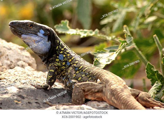 Gallotia galloti male lizard species