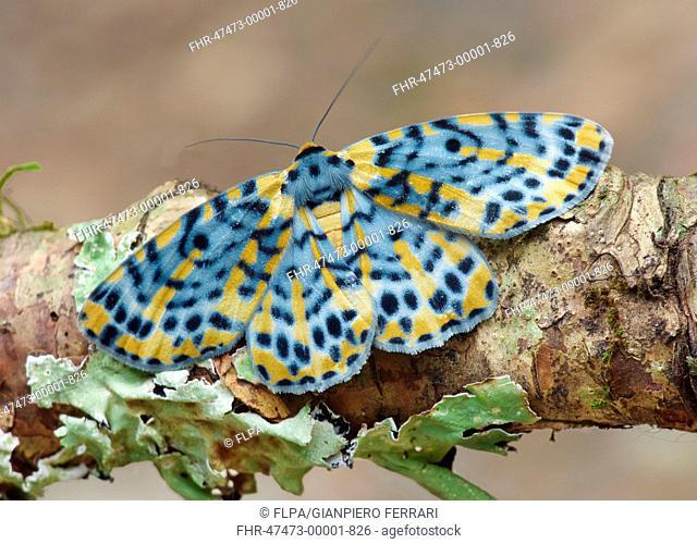 Arch Moth (Bracca matutinata) adult, roosting on twig, Green Mountain, Lamington N.P., Queensland, Australia, October