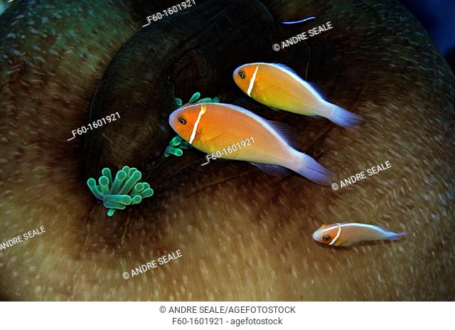 Three pink anemonefish, Amphiprion periderion, share the same host anemone, Pohnpei, Federated States of Micronesia