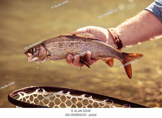 Hand of fisherman holding caught fish in river, Mozirje, Brezovica, Slovenia