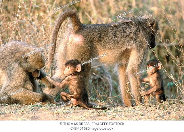 Chacma Baboon (Papio ursinus), grooming females with young. Kruger National Park. South Africa