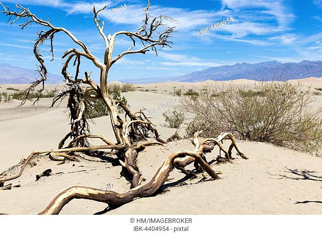 Dead tree in sand dunes, Death Valley National Park, California, USA