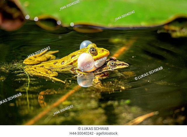 Pelophylax, Animal, Nature, Switzerland, true frogs, Amphibia