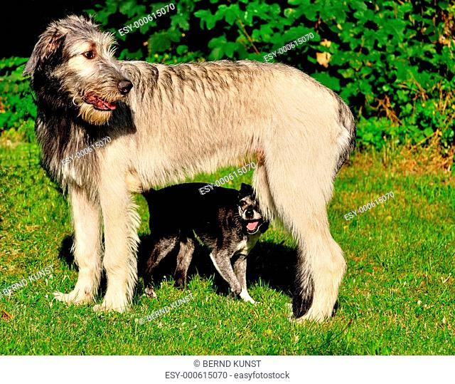 Irish Wolfhound Emil 11