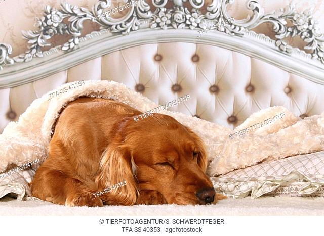 English Cocker Spaniel in bed