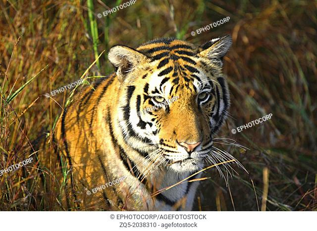 Tigeress Kanha Tiger Reserve, Madhya Pradesh, INDIA. Panthera tigris tigris is the most numerous tiger subspecies. Its populations have been estimated under...