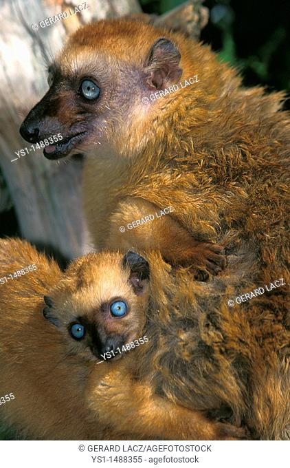 Black Lemur, eulemur macaco, Female with Young