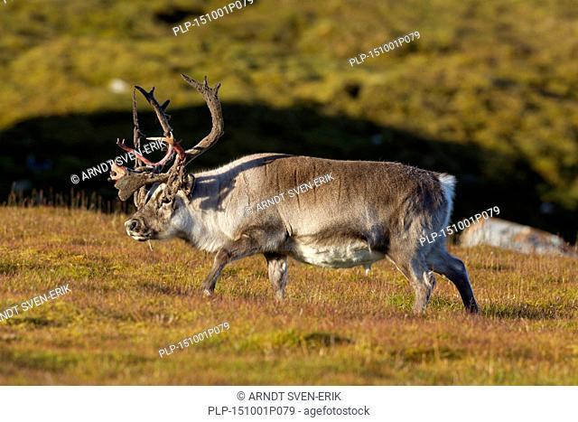 Svalbard reindeer (Rangifer tarandus platyrhynchus) male shedding velvet from antlers in tundra, Svalbard / Spitsbergen, Norway