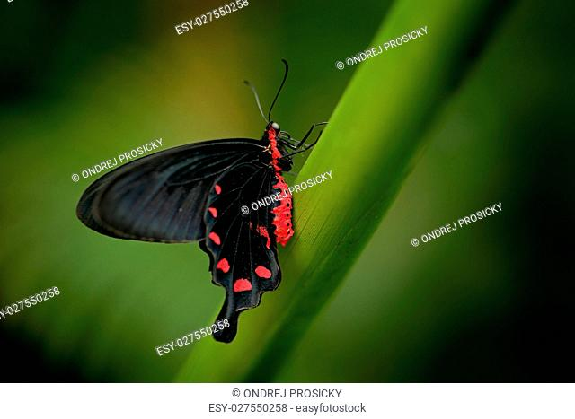 Beautiful black and red poison butterfly