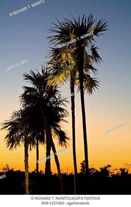 Plam trees at dusk in Riviera Maya, mexico