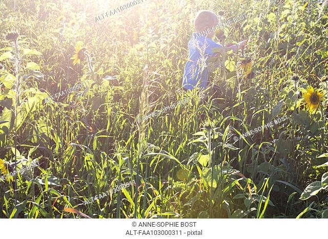 Boy exploring field of sunflowers