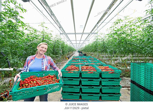 Portrait confident grower carrying crate of ripe red vine tomatoes in greenhouse