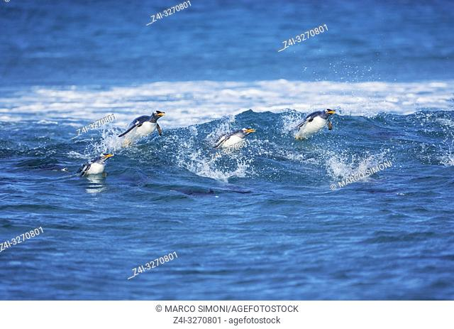Gentoo penguins (Pygocelis papua papua) surfing waves, Sea Lion Island, Falkland Islands, South America