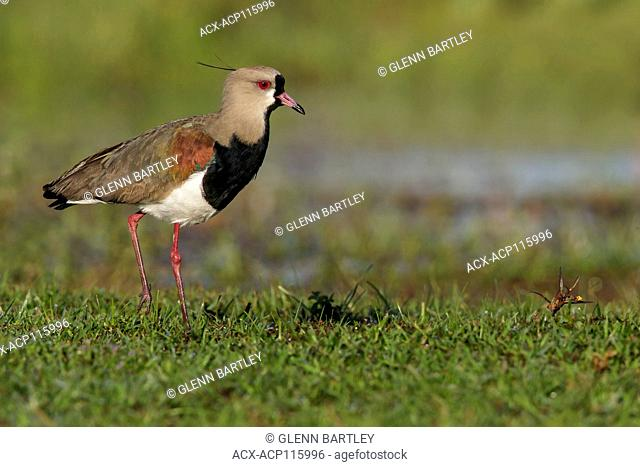 Southern Lapwing (Vanellus chilensis cayennensis) perched on the ground in the Pantanal region of Brazil