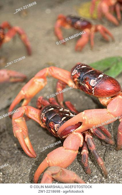 Red Crabs (Gecarcoidea natalis) marching in Christmas Island in Australia