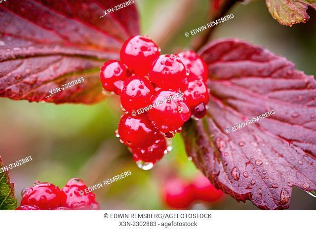 Red berries (Rhamnus Crocea) growing in the wild