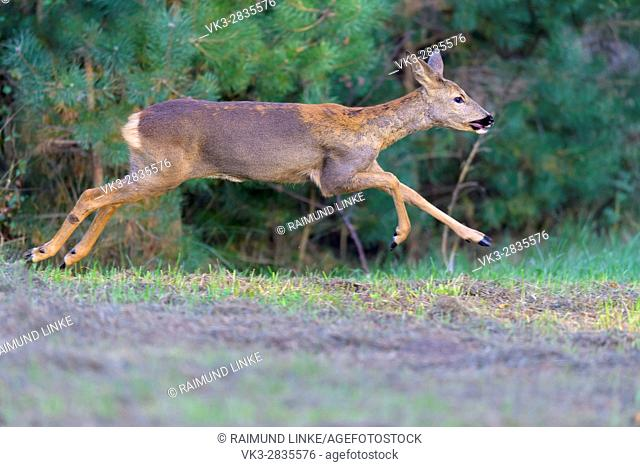 Roe Deer, Capreolus capreolus, Female is jumping, late summer, Germany, Europe