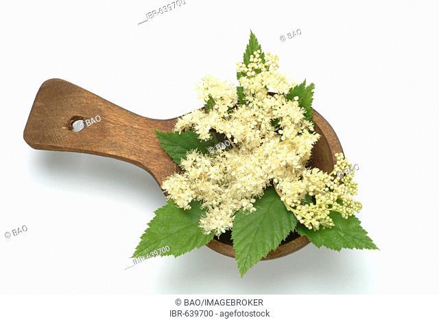 Meadowsweet, Queen of the Meadow, Pride of the Meadow or Bridewort (Filipendula ulmaria), medicinal plant, ingredient in Aspirin