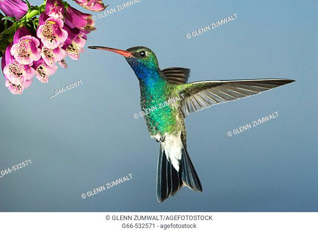 Male Broad-billed Hummingbird (Cynanthus latirostris)