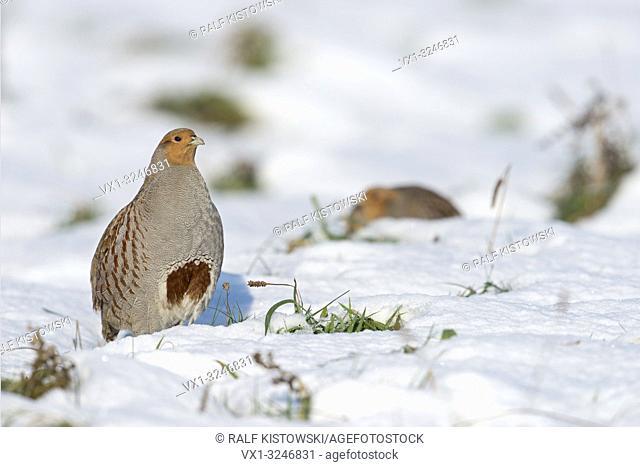 Grey partridges / Rebhuehner ( Perdix perdix) in snow, non-migratory, stands upright, shows its typical horse-shoe mark