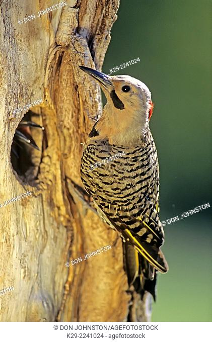 Northern flicker (Colaptes auratus) at nest cavity with young, Greater Sudbury, Ontario, Canada