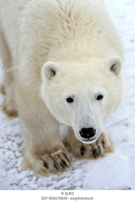 Polar bear. A portrait close up at a short distance