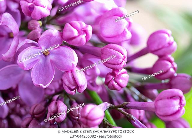 Lilac flowers blooming in may, selective focus