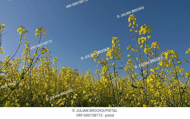 Close up of Rape flowers Brassica napus against a spring blue sky