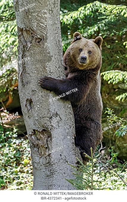 Brown bear (Ursus arctos) in tree, captive, Bavarian Forest National Park, Bavaria, Germany