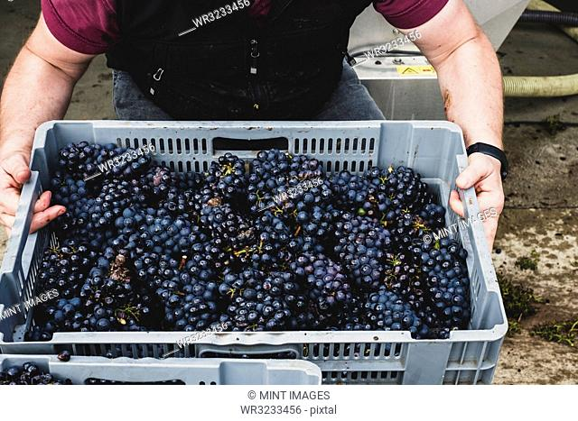 High angle close up of person holding grey plastic crate of freshly picked bunches of black grapes at a vineyard