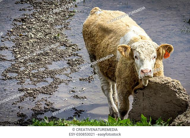 A fluffy cow stood in the River Nith scratching its neck