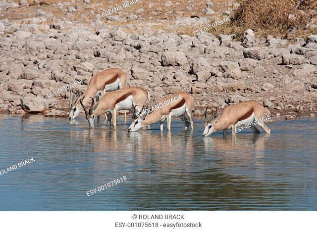 springbock in namibia etosha