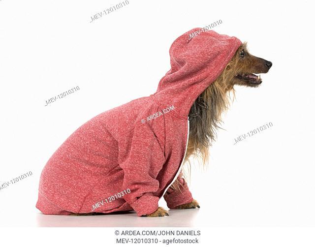 DOG. Australian Terrier iwearing a hoodie