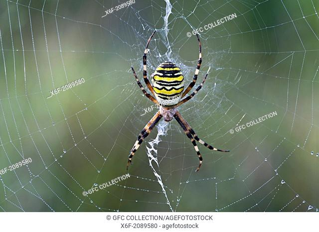 Wasp spider (Argiope bruennichi), sitting in the center of its net decorated with a vertical zigzag-type band of silk called stabilimentum