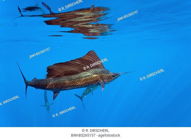 Atlantic sailfish (Istiophorus albicans), swimming at water surface, USA, Florida, Florida Keys, Islamorada